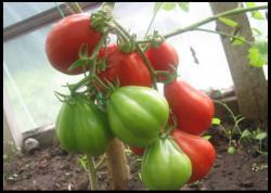 Новые сорта томатов на 2016 год