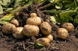 Особенности выращивания раннего картофеля