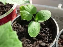 Особенности выращивания рассады на подоконнике