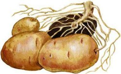 Размножение картофеля