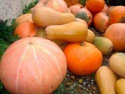 Разновидности сортов тыквы