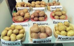 Сорта картофеля какой выбрать для посадки