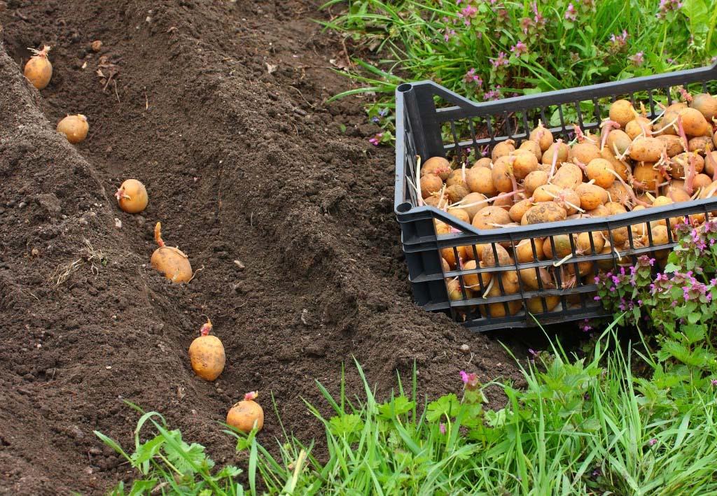 Всё об уходом за картофелем