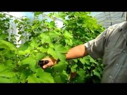 Уход за виноградным кустом