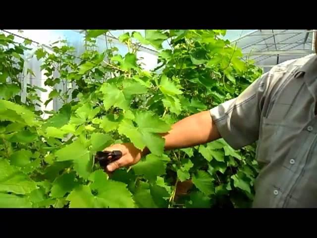 Уход за виноградниками летом