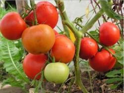 Все о томатах