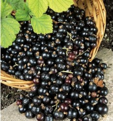 Выращиваем чёрную смородину