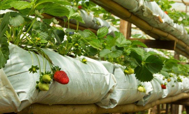 Способы выращивания клубники круглый год 37
