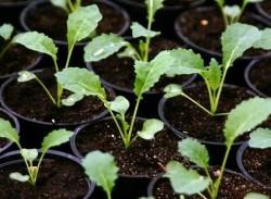 Выращивание рассады капусты