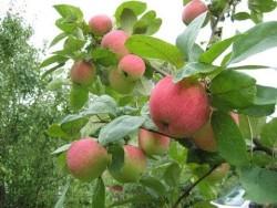 Яблоня для севера