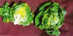 ак вырастить салат в домашних условиях