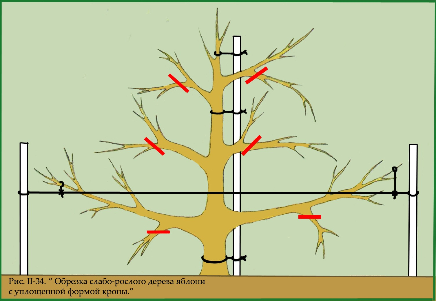Обрезка колоновидных яблонь: схема как правильно обрезать 16