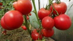 Поговорим о выращивании помидоров..