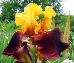 borodatyie-irisyi
