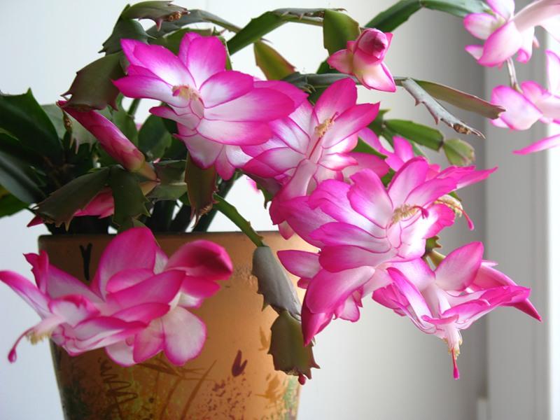Домашнее растение декабрист уход за ним